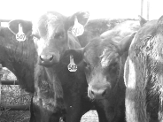 calves b and w